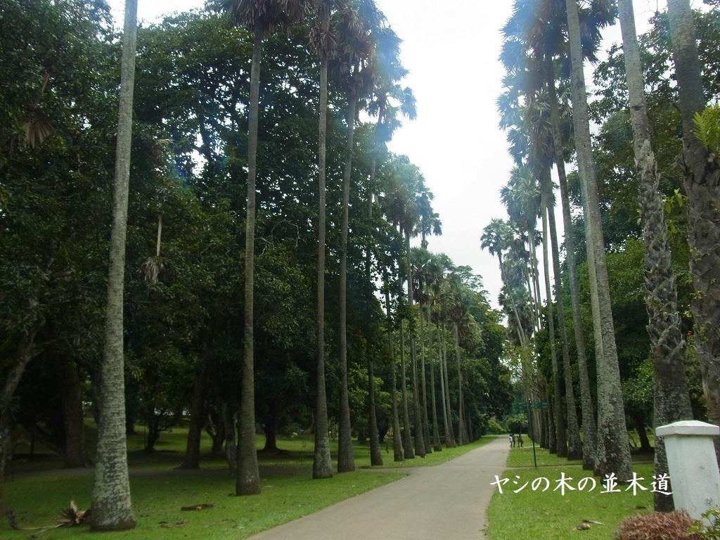 ヤシの木の並木道.jpg